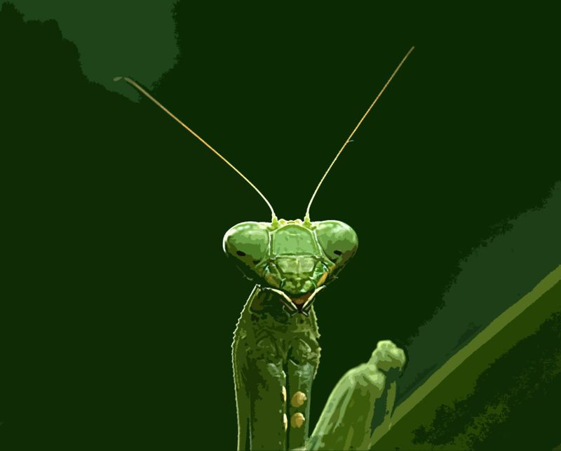 Praying_mantis_portrait_edit33