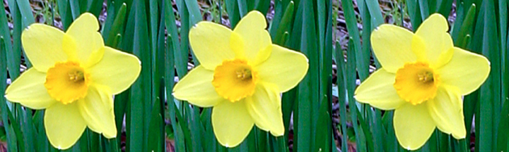 daffodils poem. Daffodils have popped up all