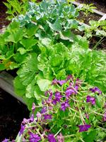 Cabbageandflowers
