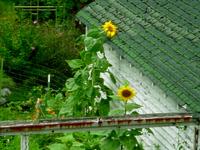 Sunflower8x6close
